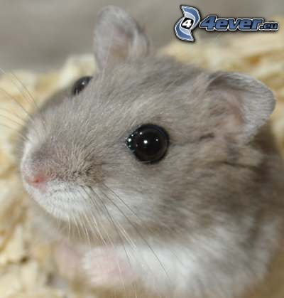 Hamster, Sägemehl