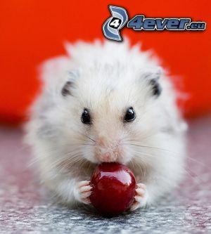 Hamster, Weichsel, Kirsche