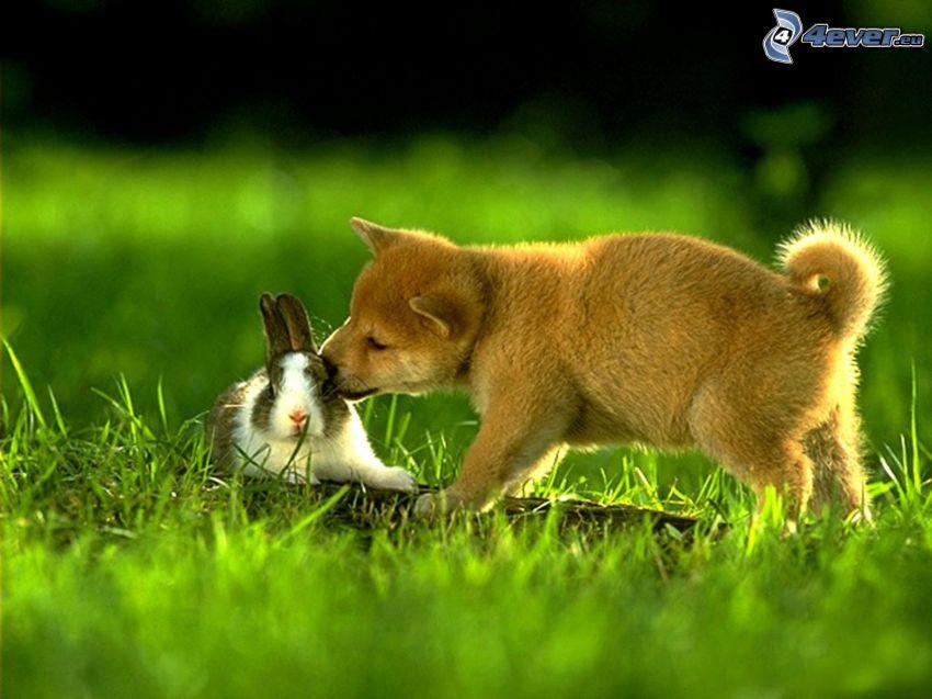 Hund und Kaninchen, brauner Welpe, Kaninchen, Gras, Freunde
