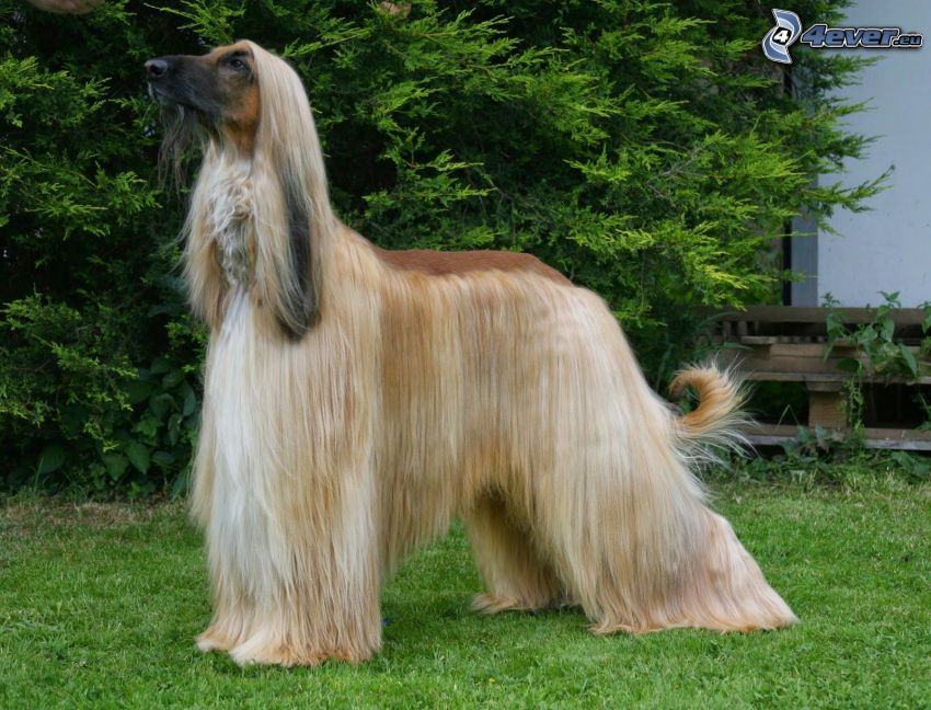 afghanischer Windhund, Busch
