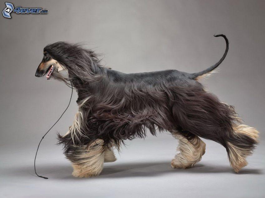 afghanischer Windhund, Laufen