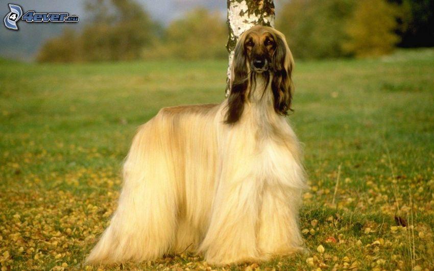 afghanischer Windhund, Wiese, Birke