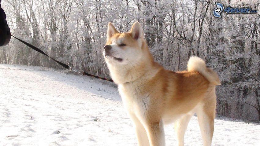 Akita Inu, verschneite Landschaft