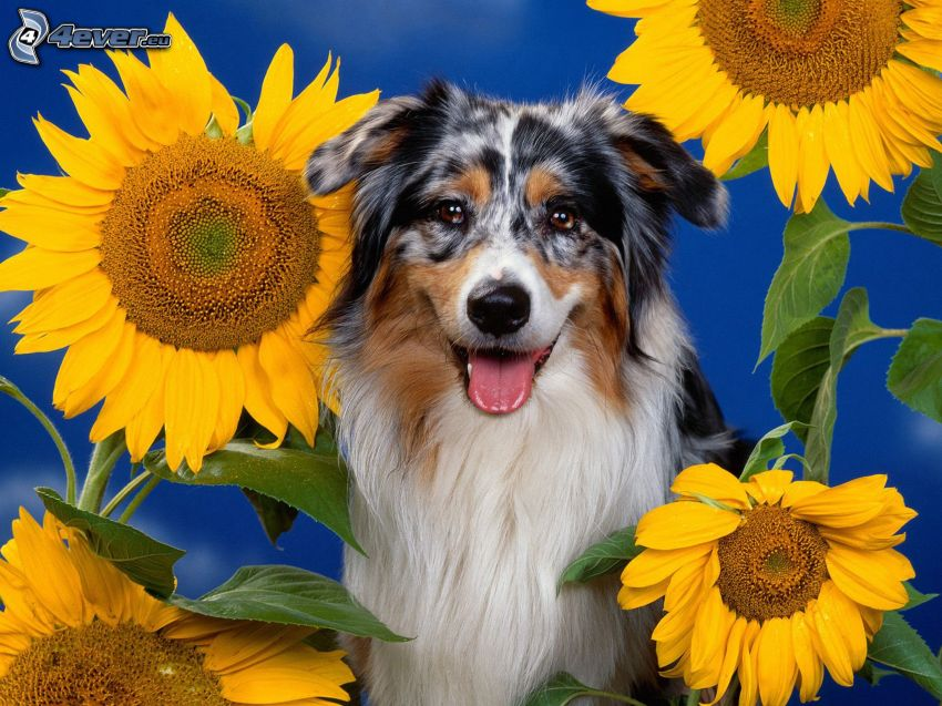 australian Shepherd, Sonnenblumen