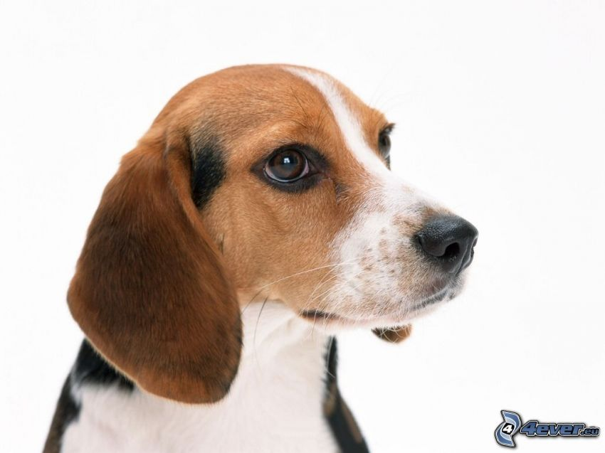 Beagle, Hundeblick