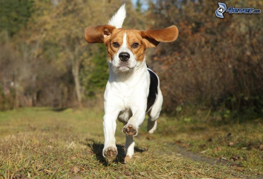 Beagle, Laufen