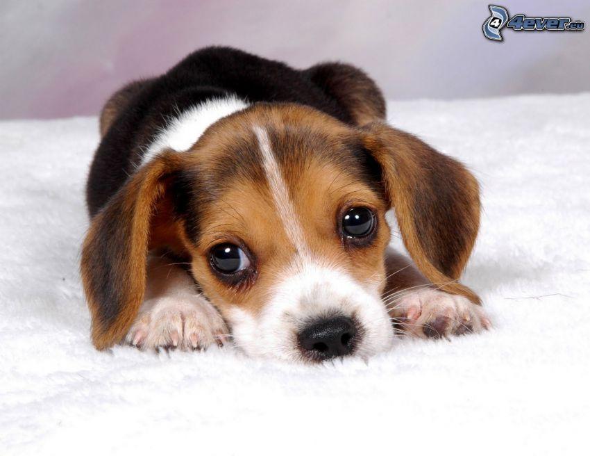 Beagle, Welpe