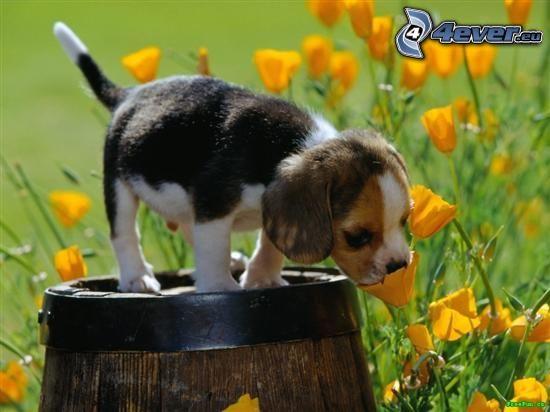 Beagle Welpe, Fass, Blumen