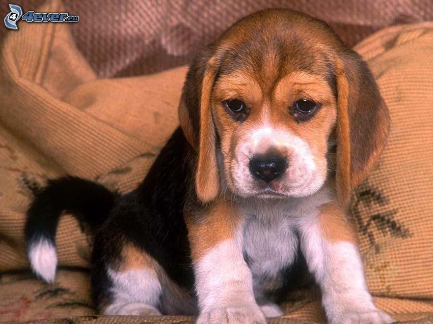 Beagle Welpe, Hund auf dem Bett