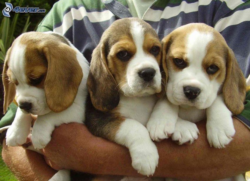 Beagle Welpen, Hände