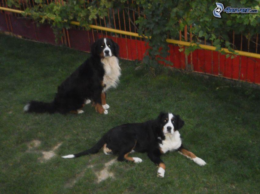 Berner Sennenhund, Gras, Zaun