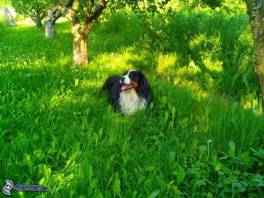 Berner Sennenhund, Gras