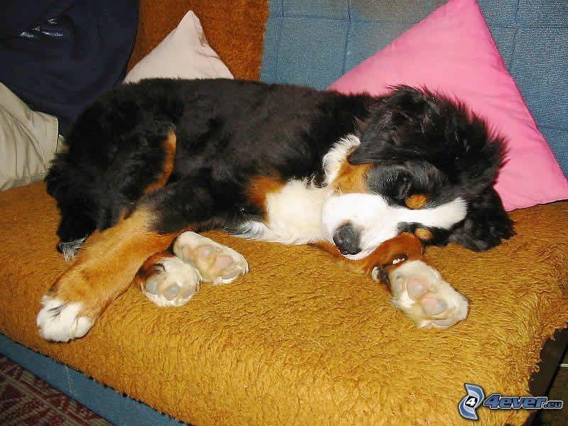 Berner Sennenhund, Hund auf der Couch