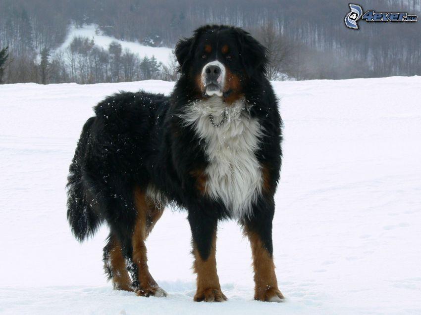 Berner Sennenhund, Schnee