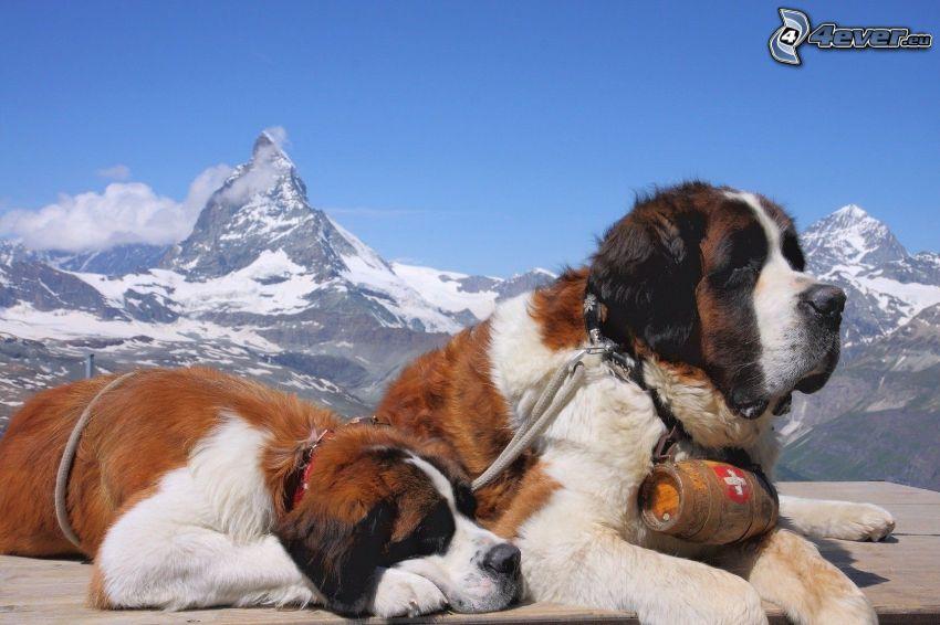 Bernhardiner, Matterhorn, schneebedeckte Berge