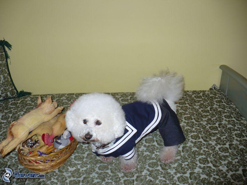 Bichon Frisé, gekleideter Hund, Hund auf dem Bett