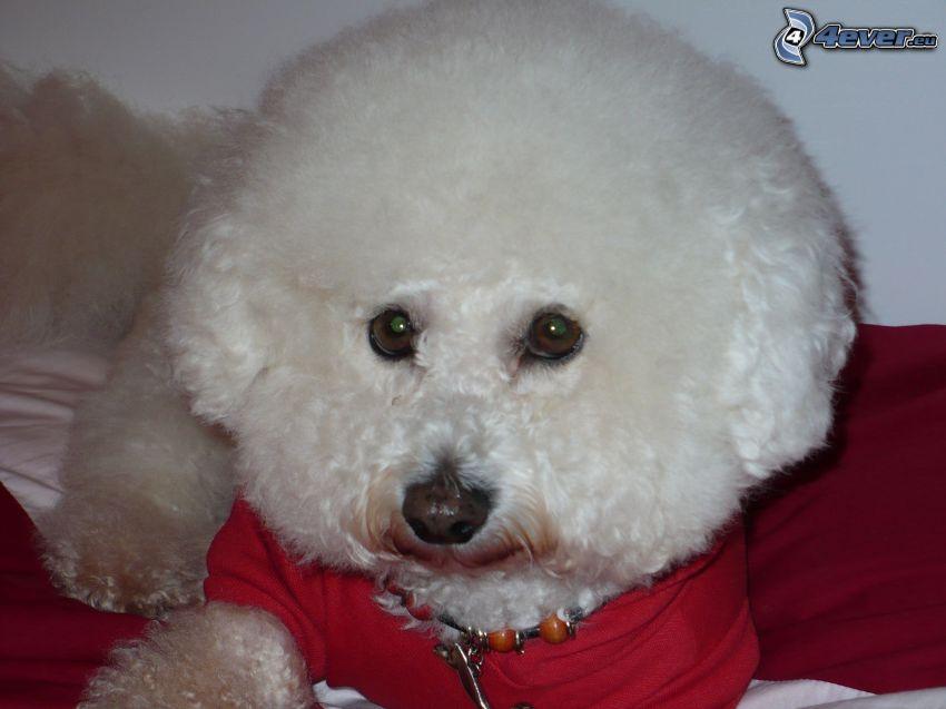 Bichon Frisé, gekleideter Hund