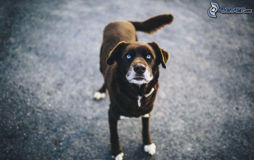 brauner Hund, blaue Augen