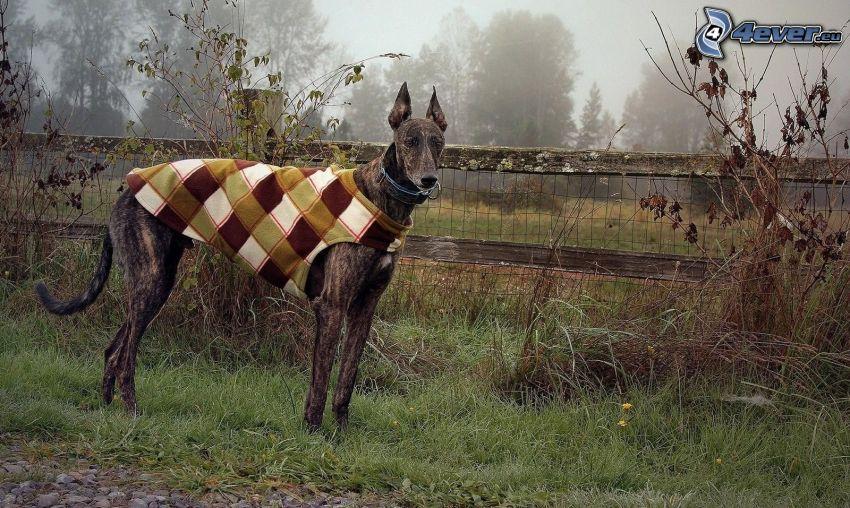 brauner Hund, gekleideter Hund, Holzzaun