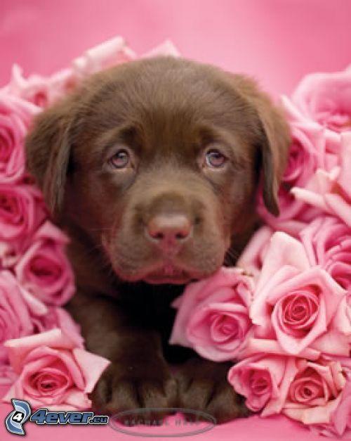 brauner Welpe, Rosen, Blumen, Romantik