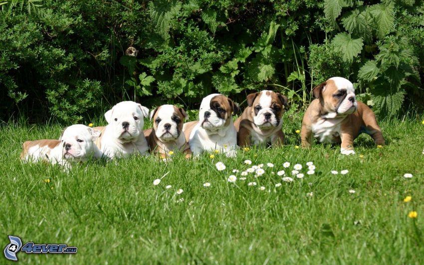 Bulldog Welpen, grünes Gras