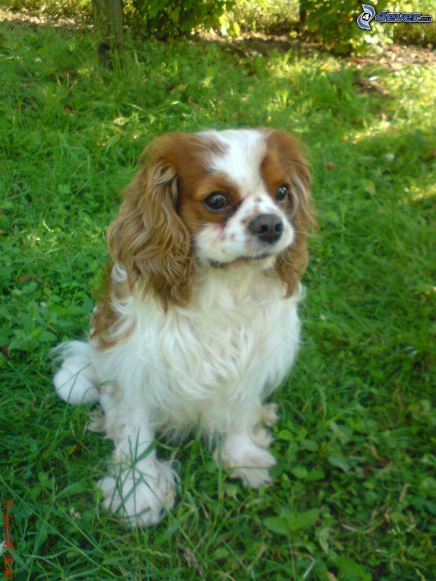Cavalier King Charles Spaniel, Hund auf dem Gras