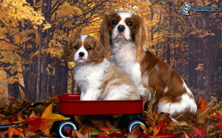 Cavalier King Charles Spaniel, Wagen, herbstliche Blätter, Tapete