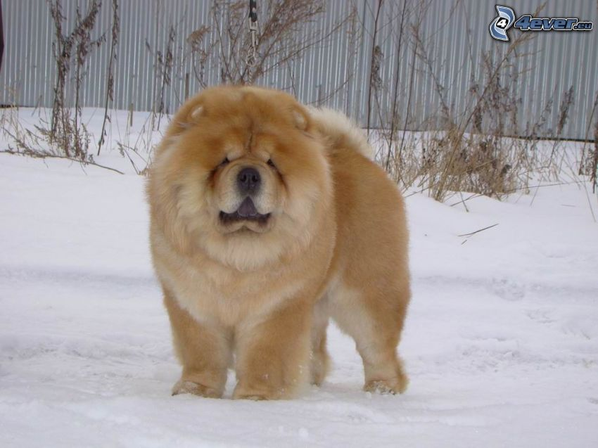 Chow-Chow, Schnee