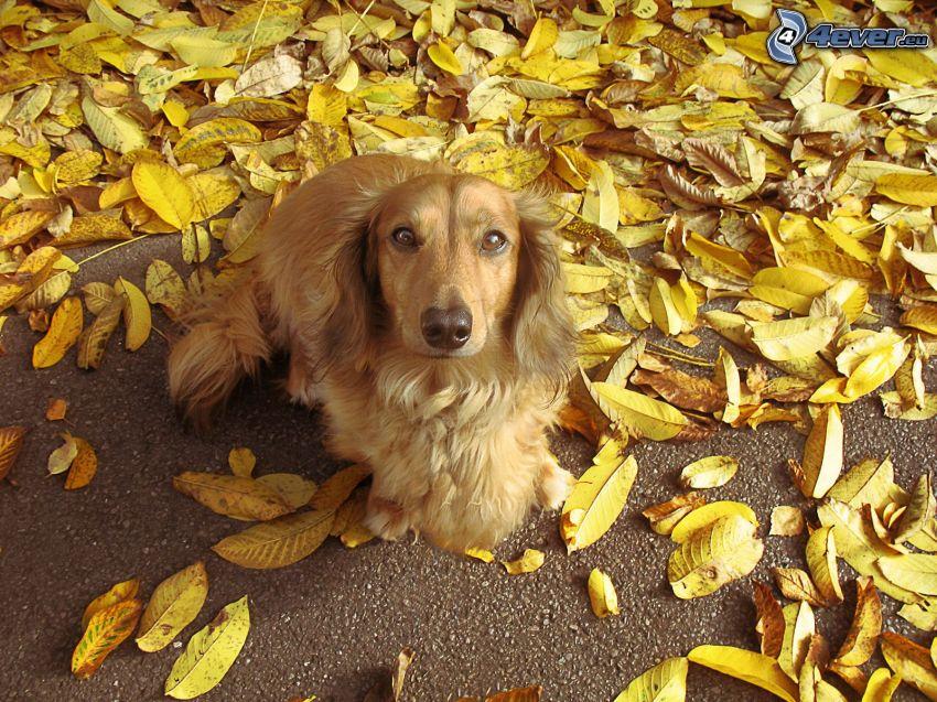 cocker spaniel, gelbe Blätter