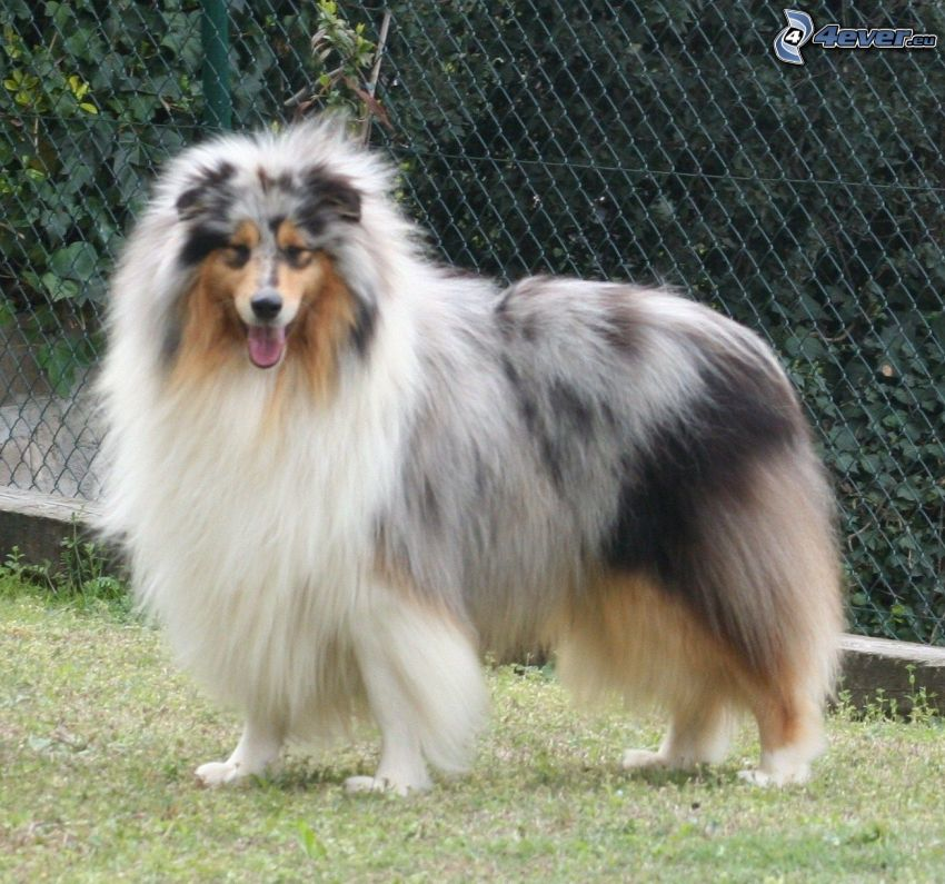 Collie, Drahtzaun