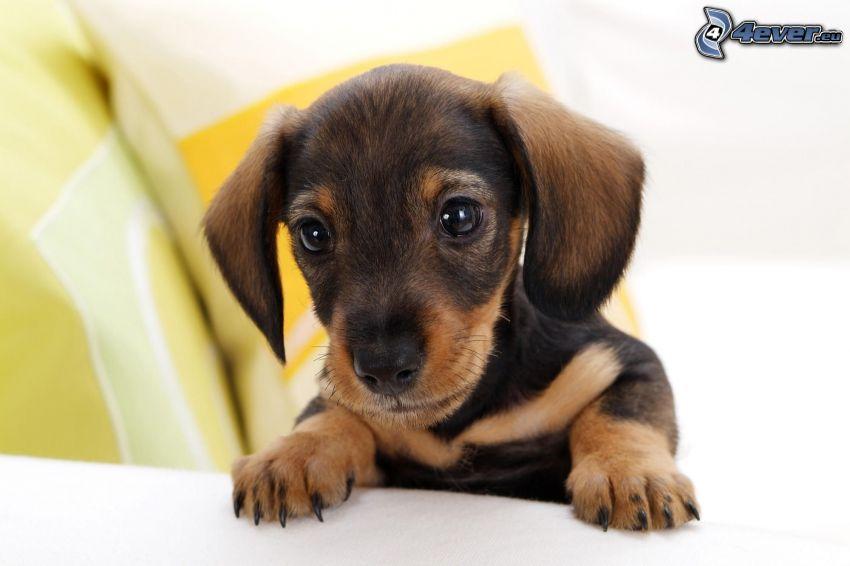 Dachshund Welpchen, Hundeblick