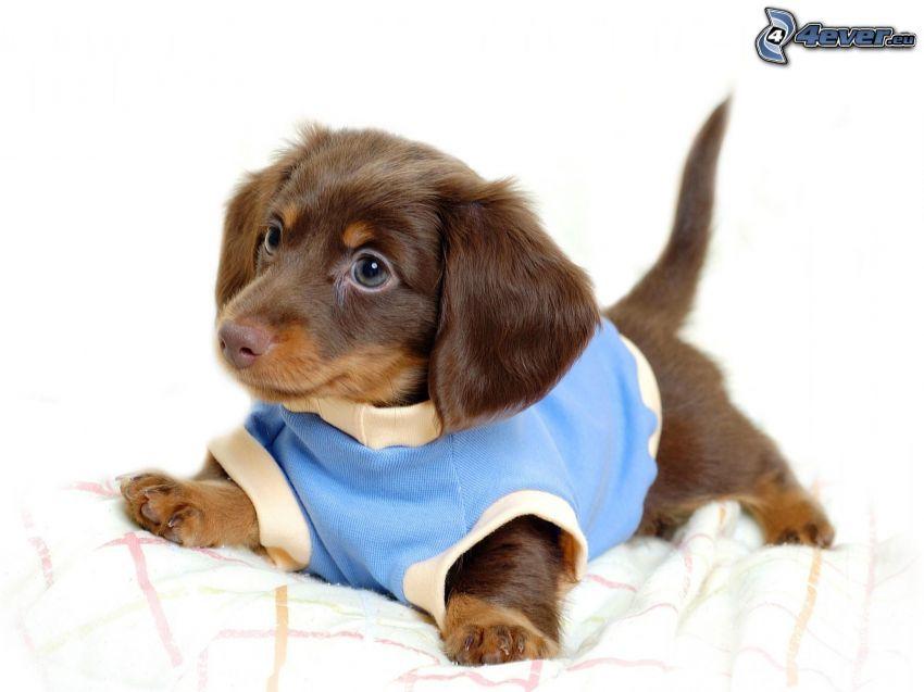 Dackel auf dem Bett, gekleideter Hund