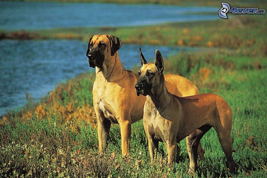 Deutsche Dogge, Fluss