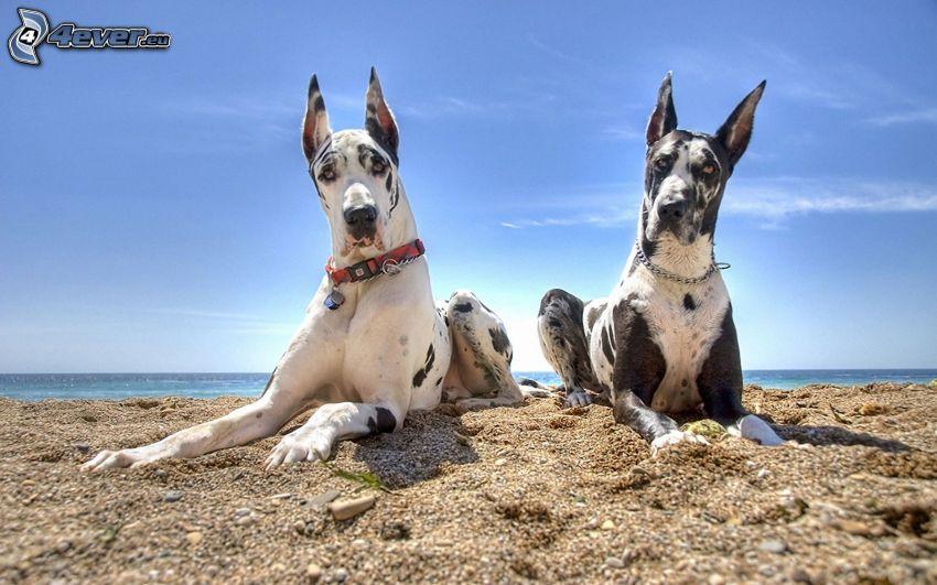 Deutsche Dogge, Sandstrand, Meer