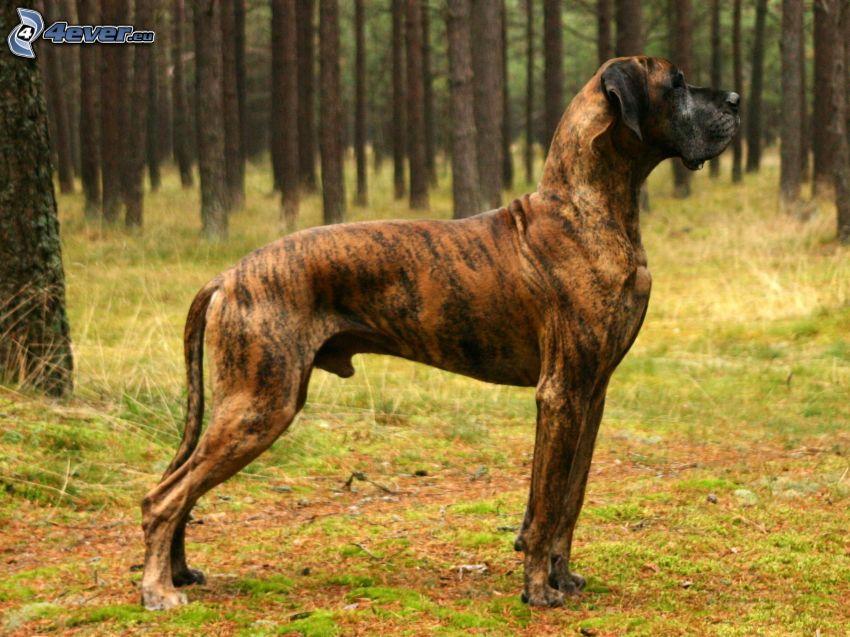 Deutsche Dogge, Wald