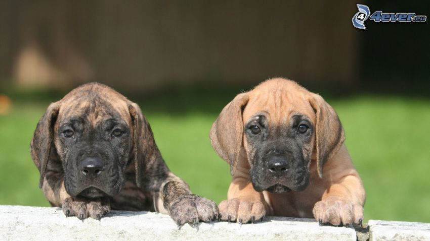 Deutsche Dogge, Welpen