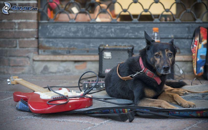 Deutscher Schäferhund, e-gitarre