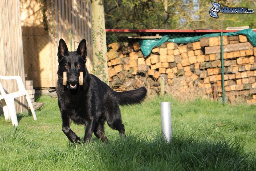 Deutscher Schäferhund, Garten, Holz
