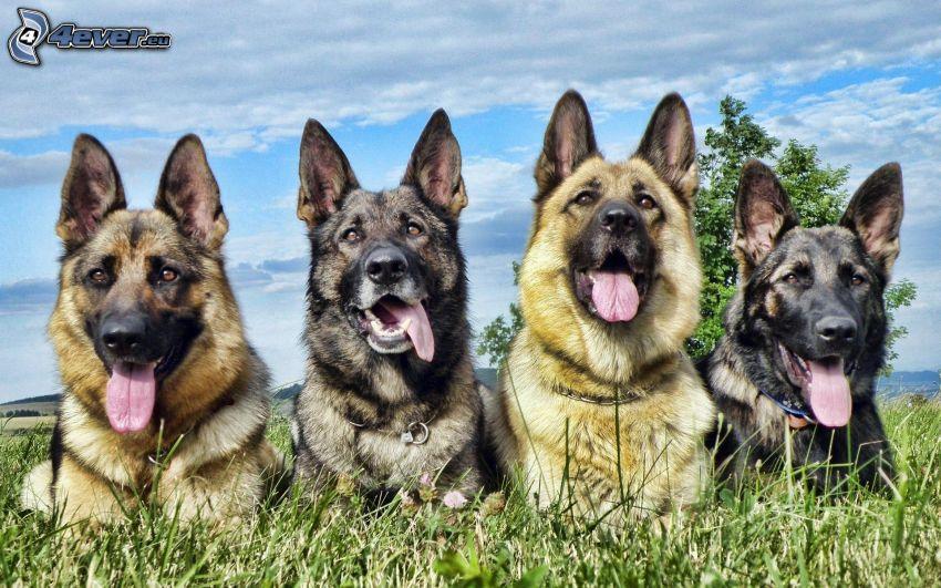 Deutscher Schäferhund, hängende Zunge