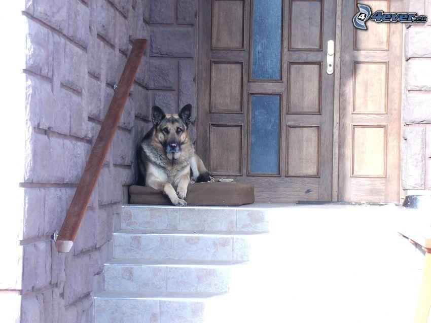 Deutscher Schäferhund, Hund auf der Treppe