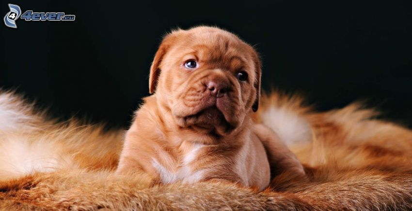 Dogue de Bordeaux, Welpe