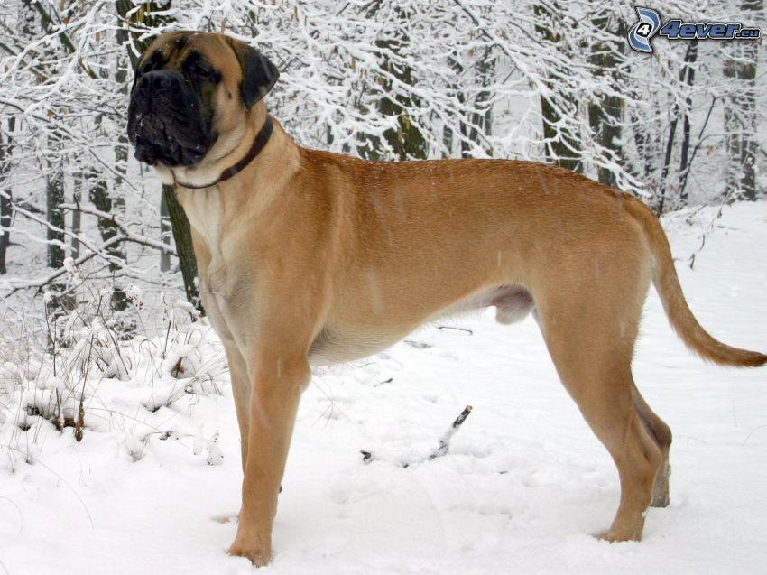 Englisch mastiff, verschneite Landschaft