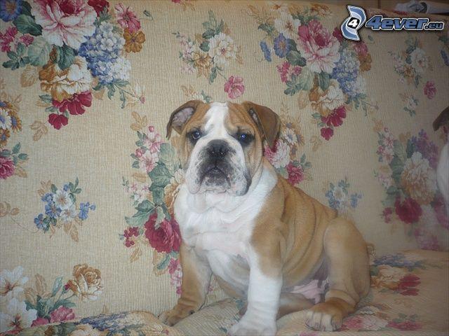 Englische Bulldogge, Blumen
