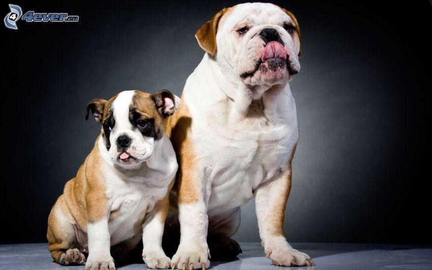 Englische Bulldogge, bulldogge Welpen