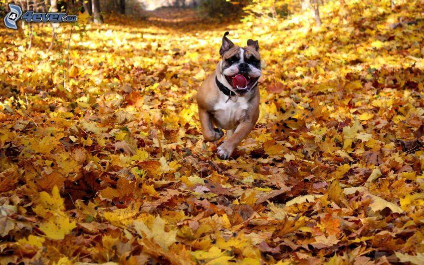 Englische Bulldogge, Herbstlaub, Laufen