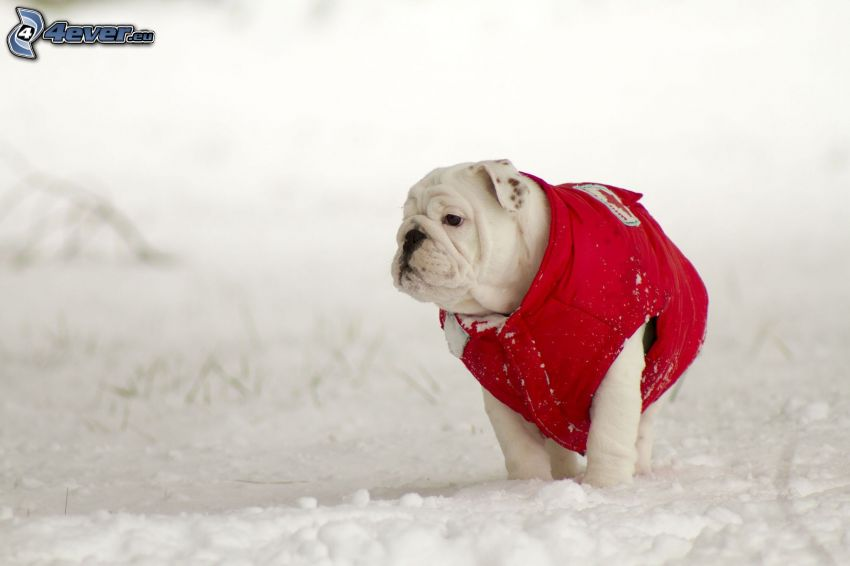 Englische Bulldogge, Weste, Schnee
