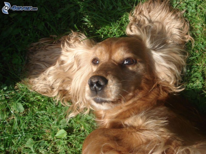 English Cocker Spaniel, Hund auf dem Gras