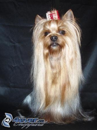gefrisierter Hund, Yorkshire Terrier