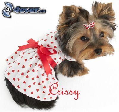 gekleideter Hund, Jorkshires Terrier mit Schleife