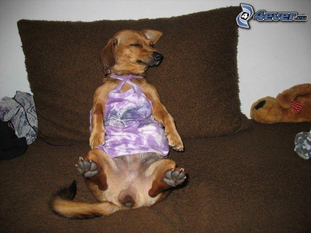 gekleideter Hund, schlafender Hund, Hund auf der Couch